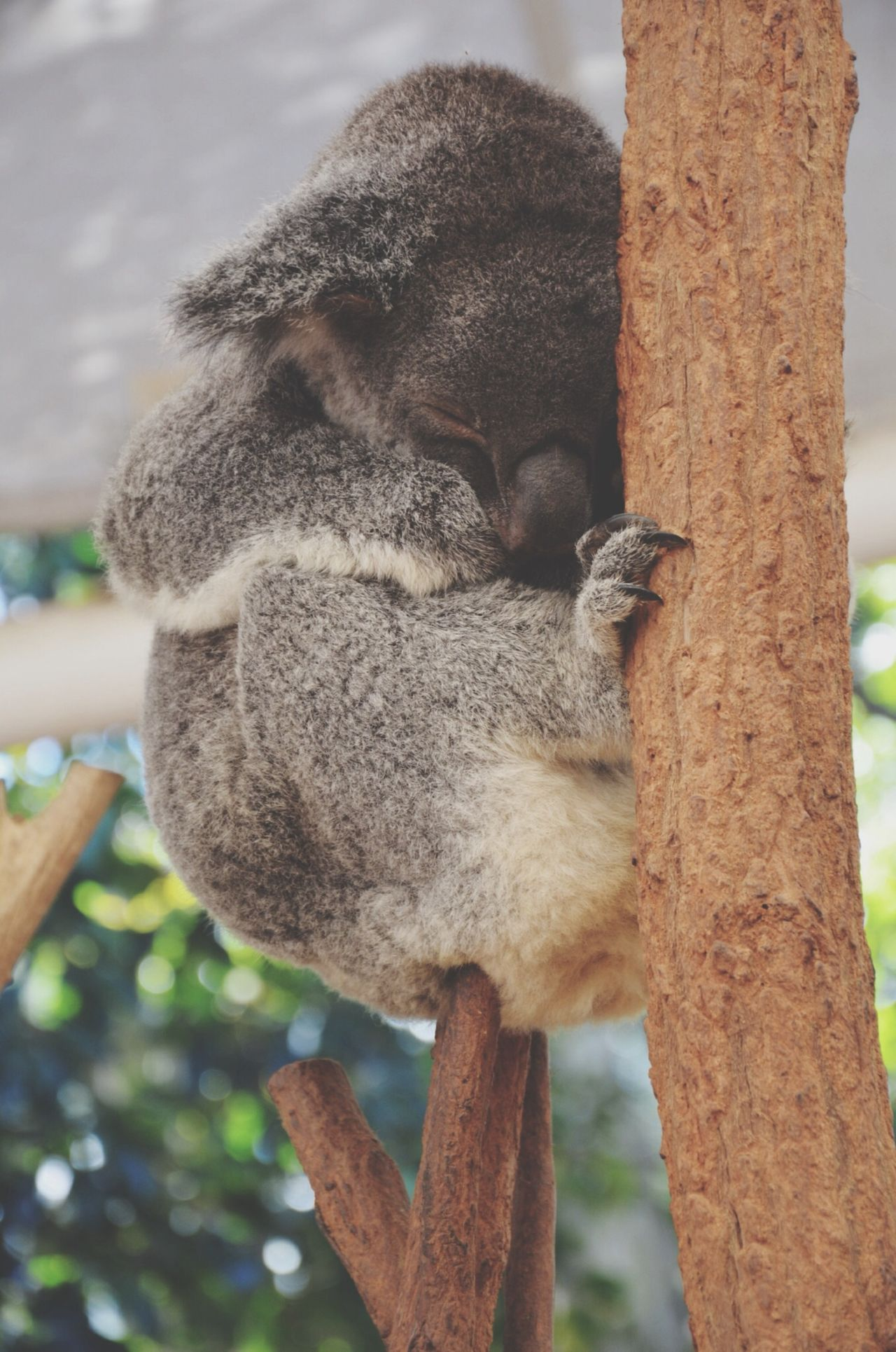 Koala Australia Cute EyeEm Best Shots