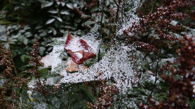 First snow. So summer is over ... Autumn Autumn Collection Autumn Colors Autumn Leaves Autumn🍁🍁🍁 Day Flowers Flowers, Nature And Beauty Flowers,Plants & Garden Flowers_collection Garden Garden Flowers Garden Photography Leaves Leaves_collection Leaves🌿 Macro Macro Photography Nature No People Outdoors Snow Snow ❄ Snowing Web