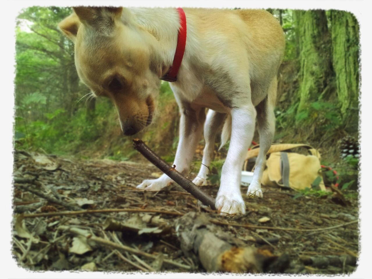 Portrait Of Dog Playing With Wooden Stick