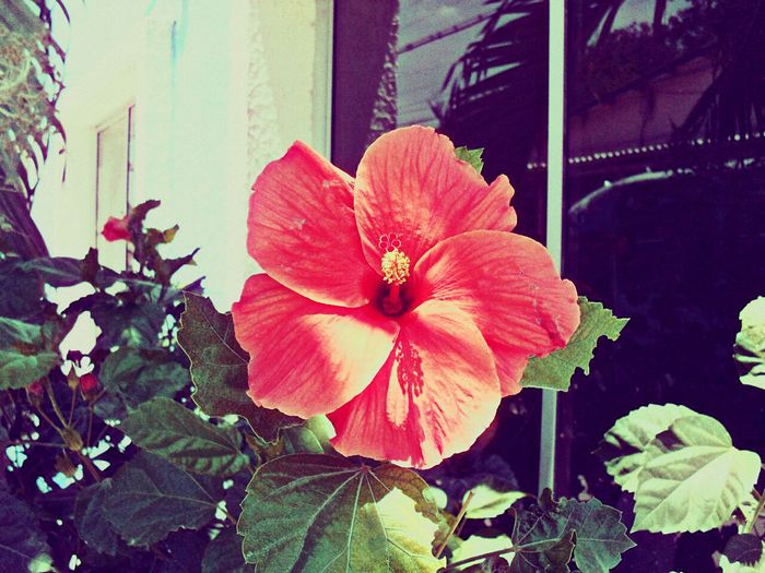 Open Edit Check This Out Enjoying Life EyeEm Nature Lover Connected With Nature Flowers Red Flower Hibiscus 🌺 Hibiscus Journey Popular Photos Enjoying The View