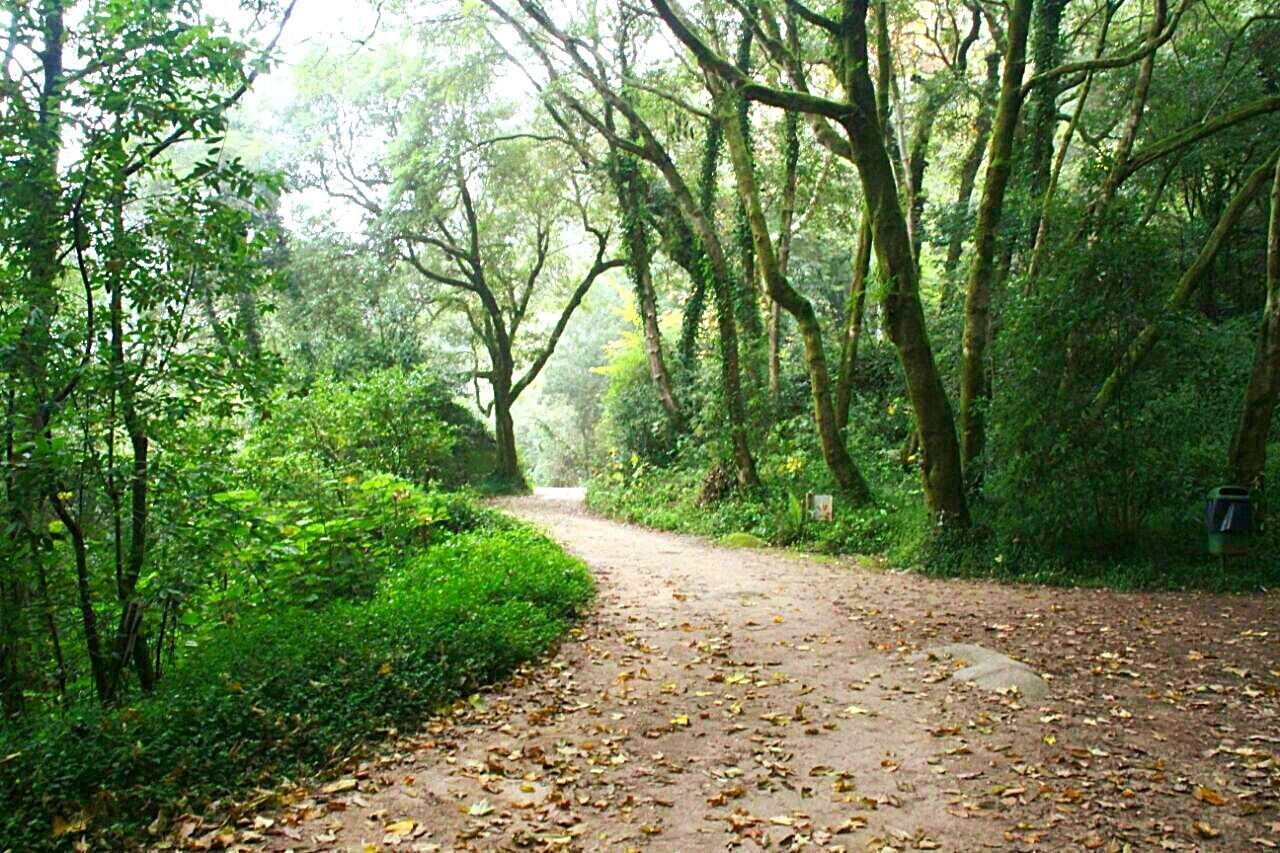 nature, tree, the way forward, forest, tranquility, beauty in nature, tranquil scene, footpath, scenics, landscape, outdoors, day, growth, road, no people, leaf, single lane road, walkway