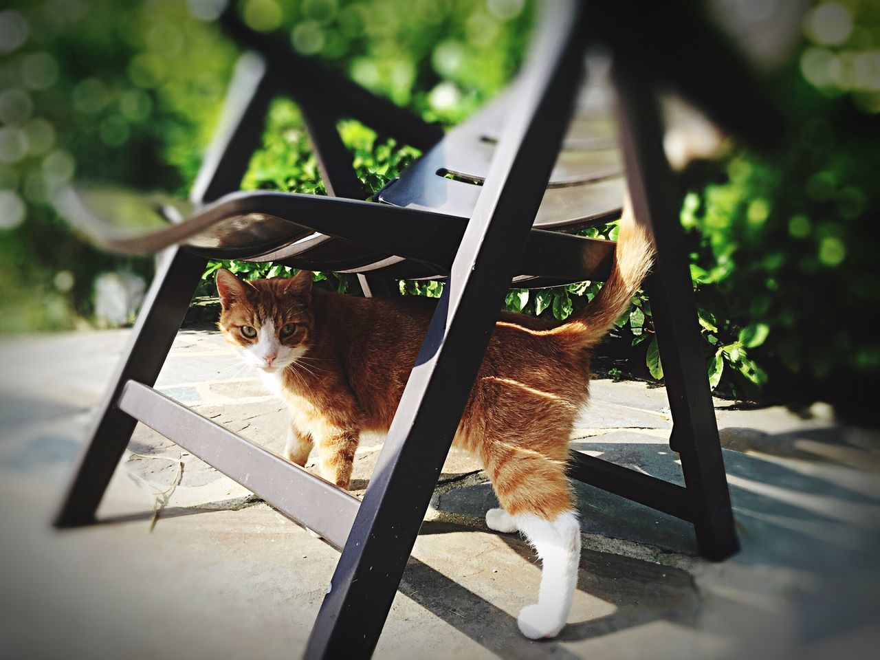 domestic cat, animal themes, domestic animals, pets, mammal, feline, one animal, cat, no people, day, sitting, looking at camera, portrait, outdoors, close-up