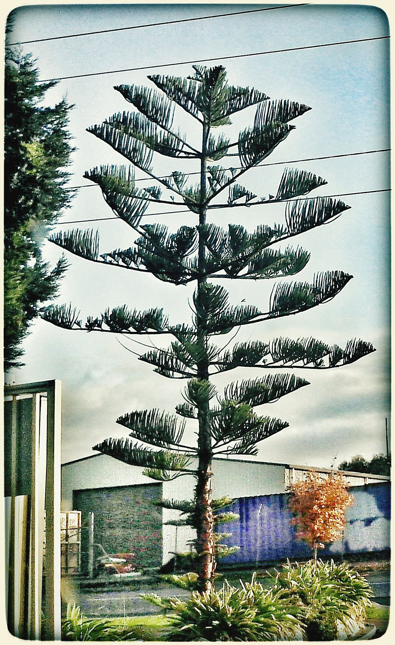 I think this type of evergreen is just really cool and strange. Tree
