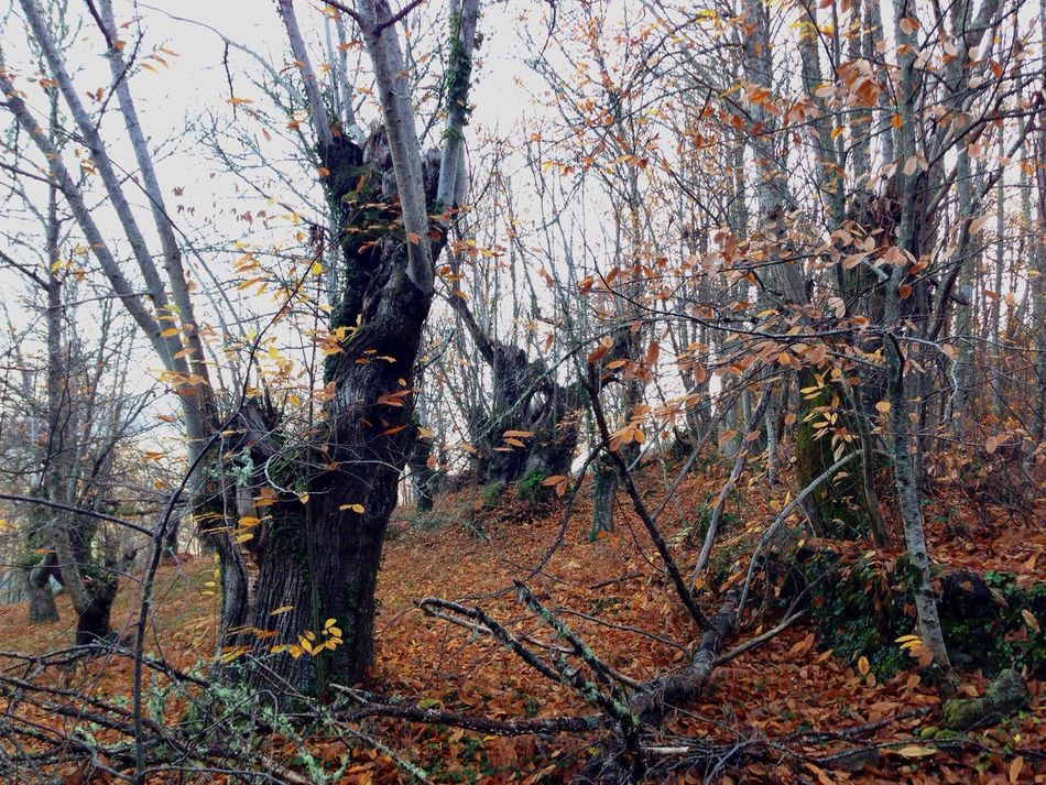 In The Forest centenarys Chesnut Trees Showcase: December Hanging Out A Walk In The Woods