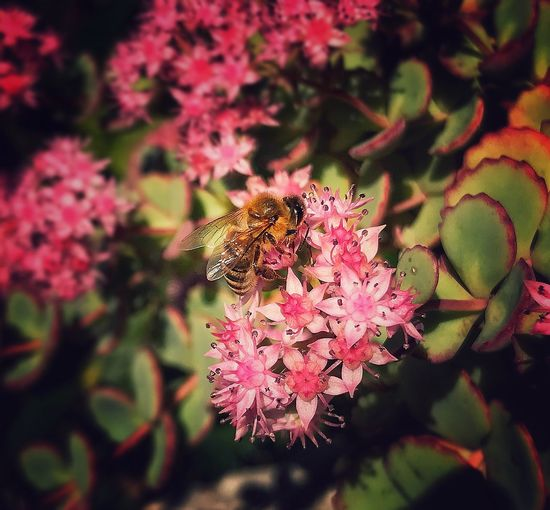iphone 7 Plus, Snapseed,DFT Animal Themes Nature Beauty In Nature No People One Animal Flower Insect Animals In The Wild Growth Fragility Pink Color Freshness Plant Flower Head Outdoors Day Close-up Pollination