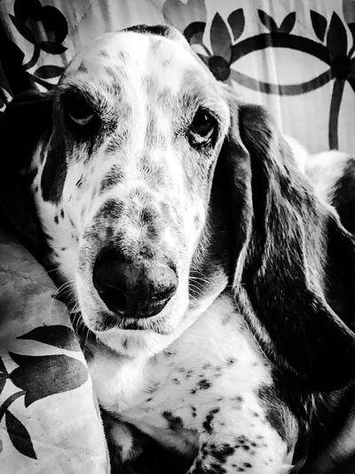 William the basset hound Dog Portrait Pets Looking At Camera Close-up Indoors  Pampered Pooch Ilovemybassethounds Bassethoundsare Best Iphonephotography Bassethoundadventures Bassetmoments Blackandwhite Photography Upclose And Personal RescuedIsMyFavoriteBreed