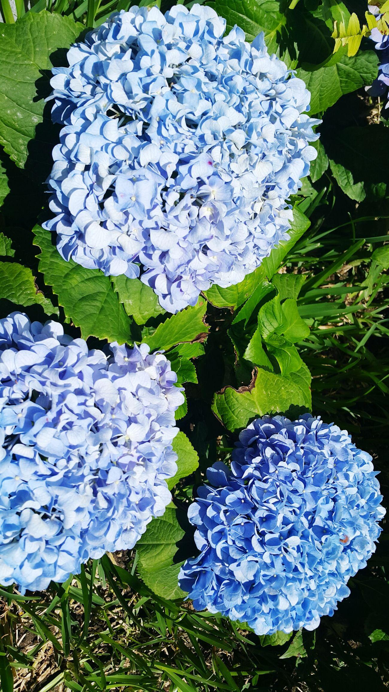 Hortensia Flower Nature Plant Flower Flower Head Day Purple Flower Blue Flowers