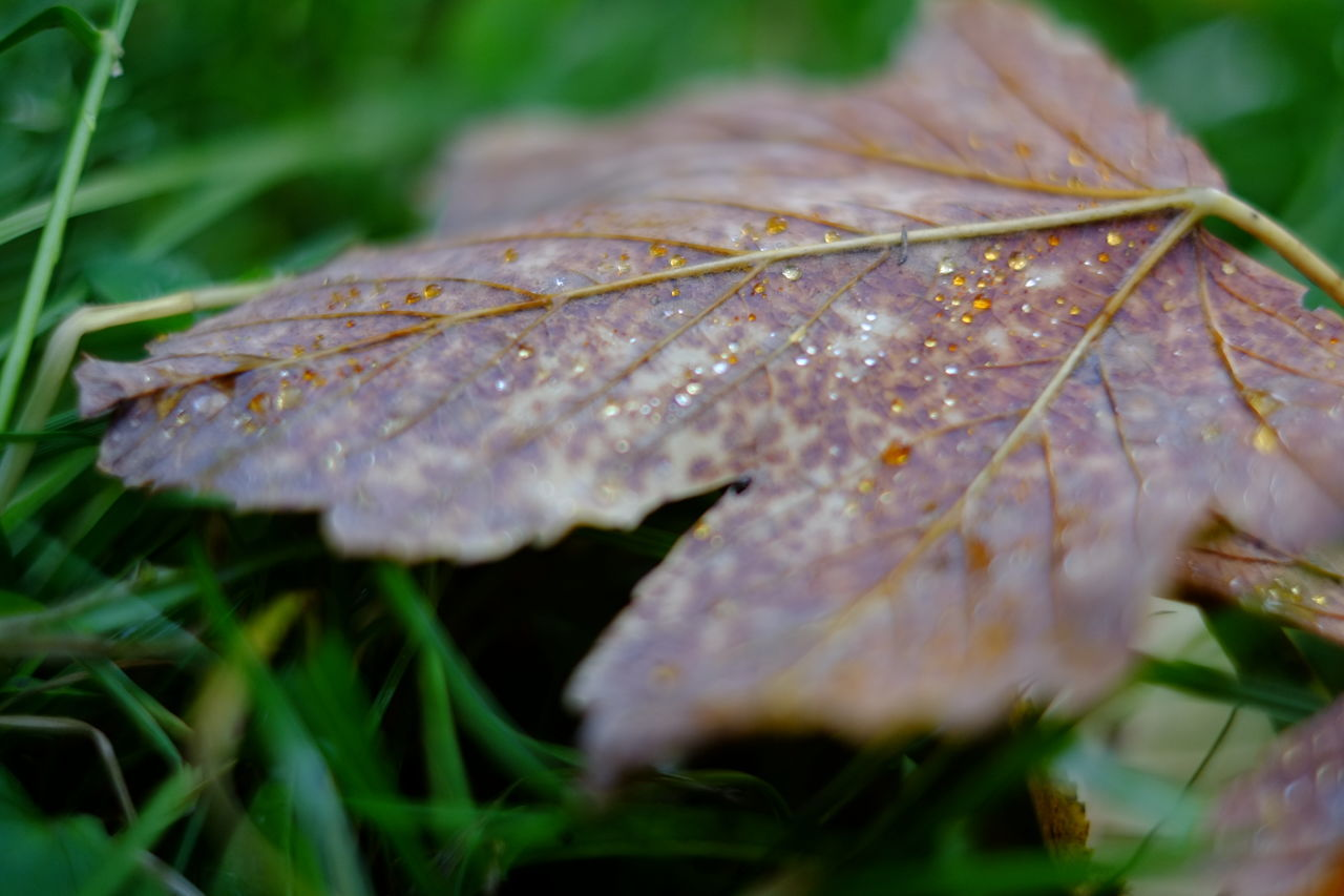 leaf, nature, autumn, grass, close-up, no people, change, beauty in nature, day, drop, outdoors, water, growth, fragility