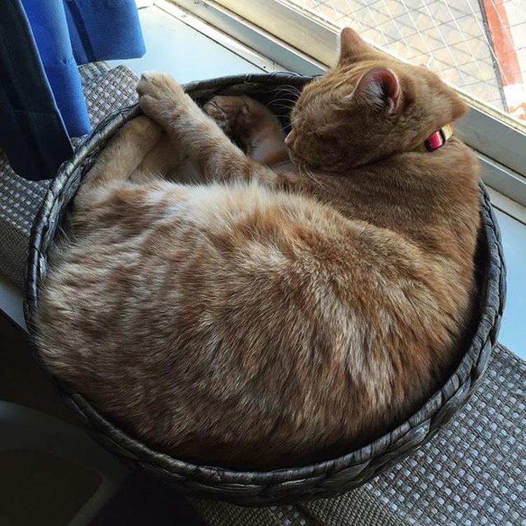 Cat Neko ねこ 猫 ねこ Cats スコティッシュフォールド Scottishfold 茶トラ ロロ Lolo コケティッシュフォールド コケティッシュホールド かご猫 さっきこうだったのが…😚😽💕
