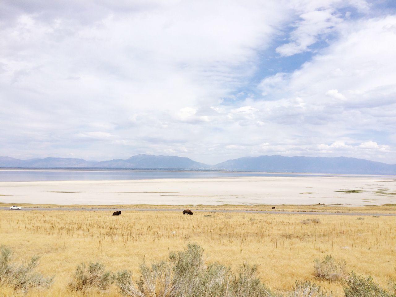 Bison Salt Lake City Antelope Island Lake Wildlife & Nature