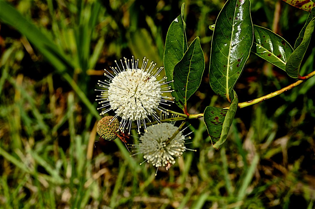 Blooming Button-wi Buttonbush Cephalanthus Occidentalis Close-up Coffee Plant Flower Flower Head Flowers,Plants & Garden Focus On Foreground Freshness Grassy Waters Preserve Honey Bell In Bloom Outdoors Plant Selective Focus Spiky Plant Swamp Photos White Flower Wildflower Object Focus