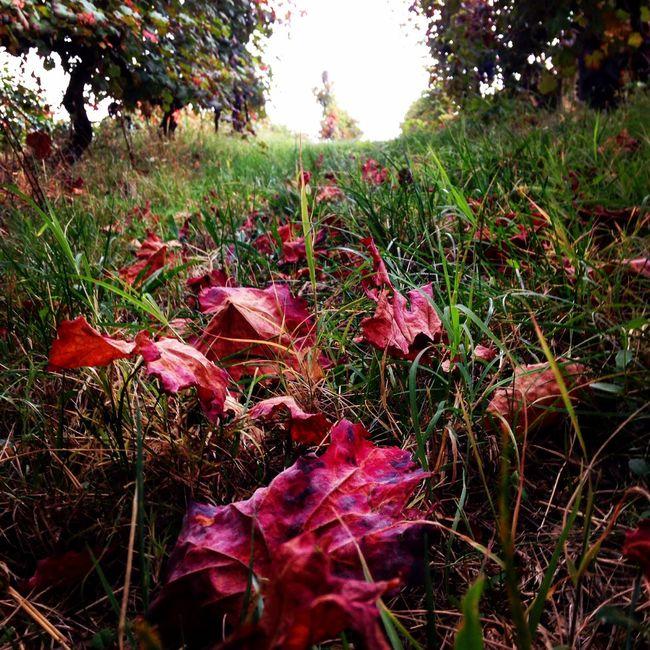 Autunno nella vigna! 🍁 Vigna Autunno  Vendemmia Ottobre Foglie Foglierosse Paesaggio Campagna Modena