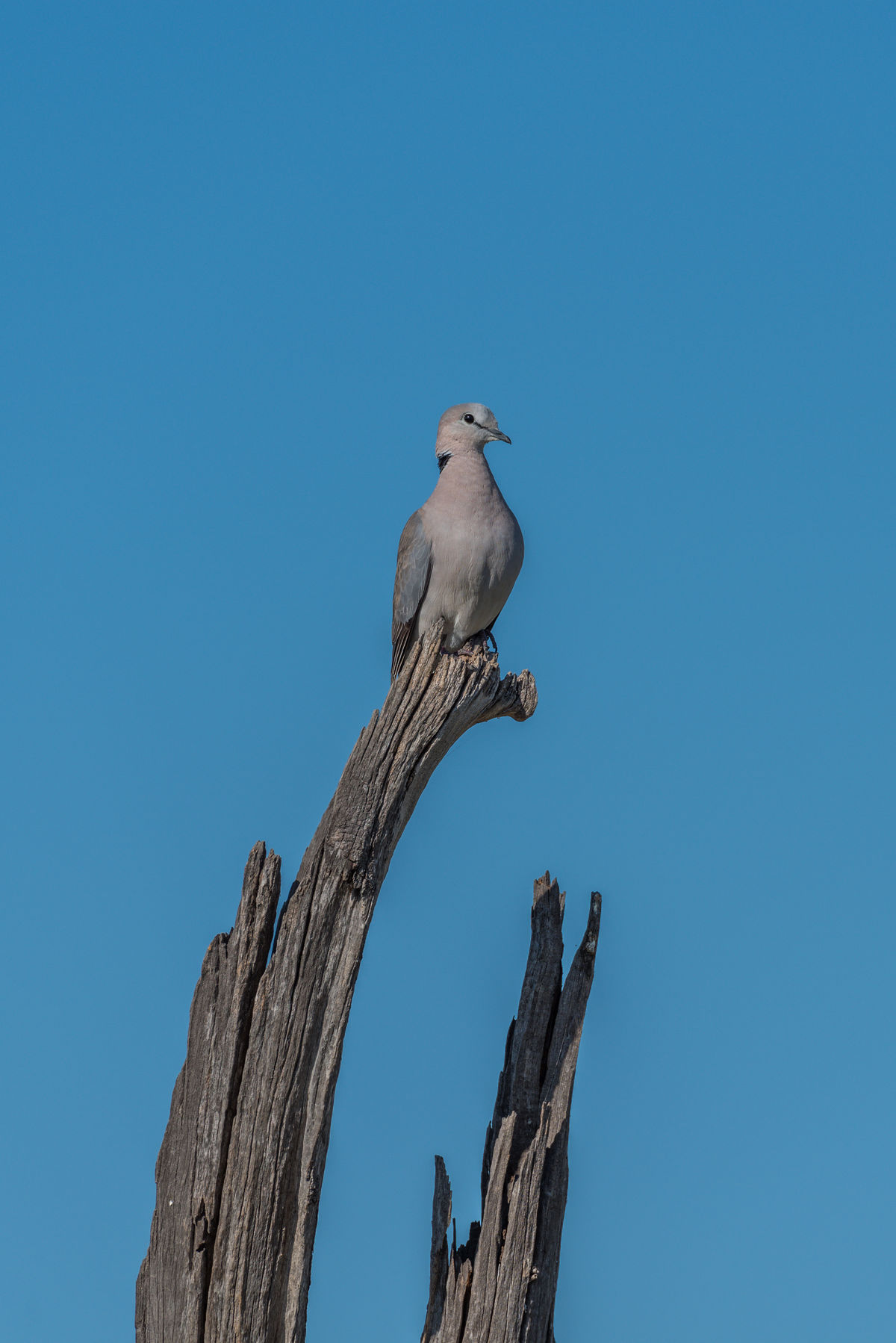 Animal Animal Head  Animal Themes Avian Beauty In Nature Bird Of Prey Blue Cape Turtle Dove Clear Sky Close-up Day Low Angle View Mammal Nature No People Outdoors Perching Sky Wildlife Wooden Post