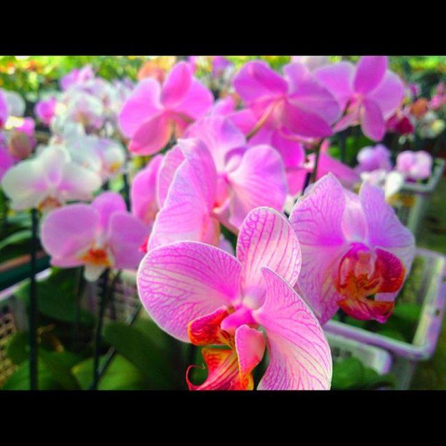 Flower Orchid Pink Nature Bangkok Thailand Beautiful Perfect Instargram Instarpic Picofday