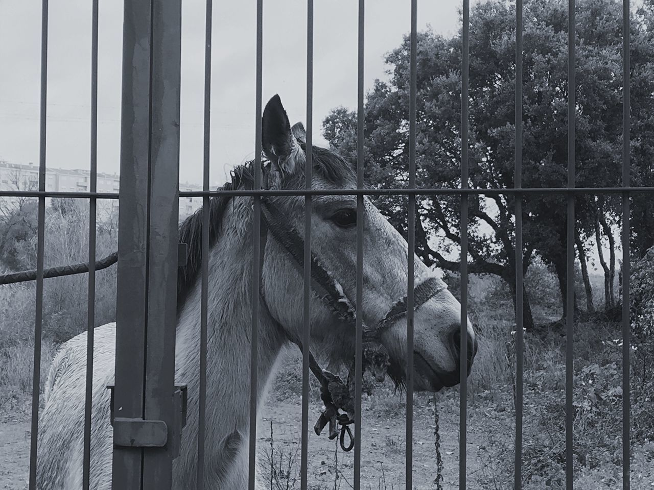 horse, domestic animals, animal themes, mammal, two animals, herbivorous, livestock, paddock, day, outdoors, tree, no people, sky, nature