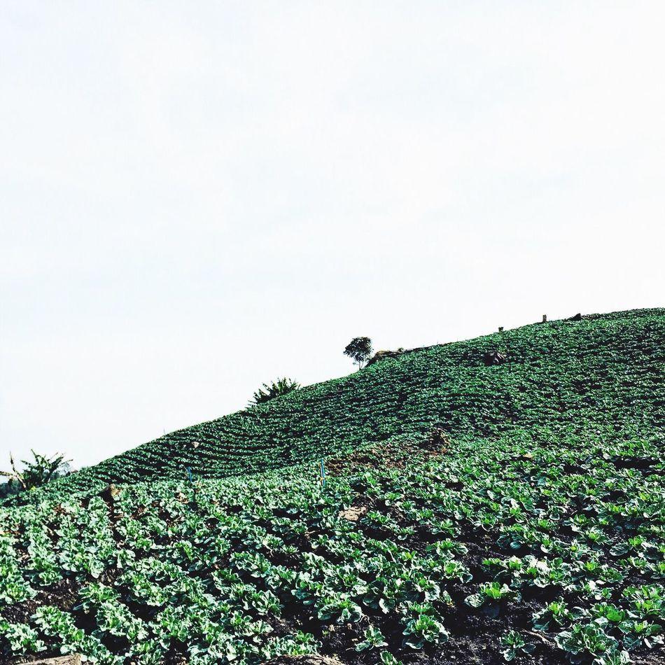 Lechuga Lettuce Camp Agriculture Agricultural Land Pueblo Latinoamerica Venezuela
