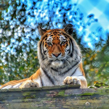 Tiger Face Tiger Animals In The Wild One Animal Animal Themes Day Portrait Sky Nature Looking At Camera No People Outdoors Close-up EyeEm Market © EyeEm Selects EyeEmPremiumShot EyeEm Best Shots EyeEm Best Edits Beauty In Nature EyeEm Gallery