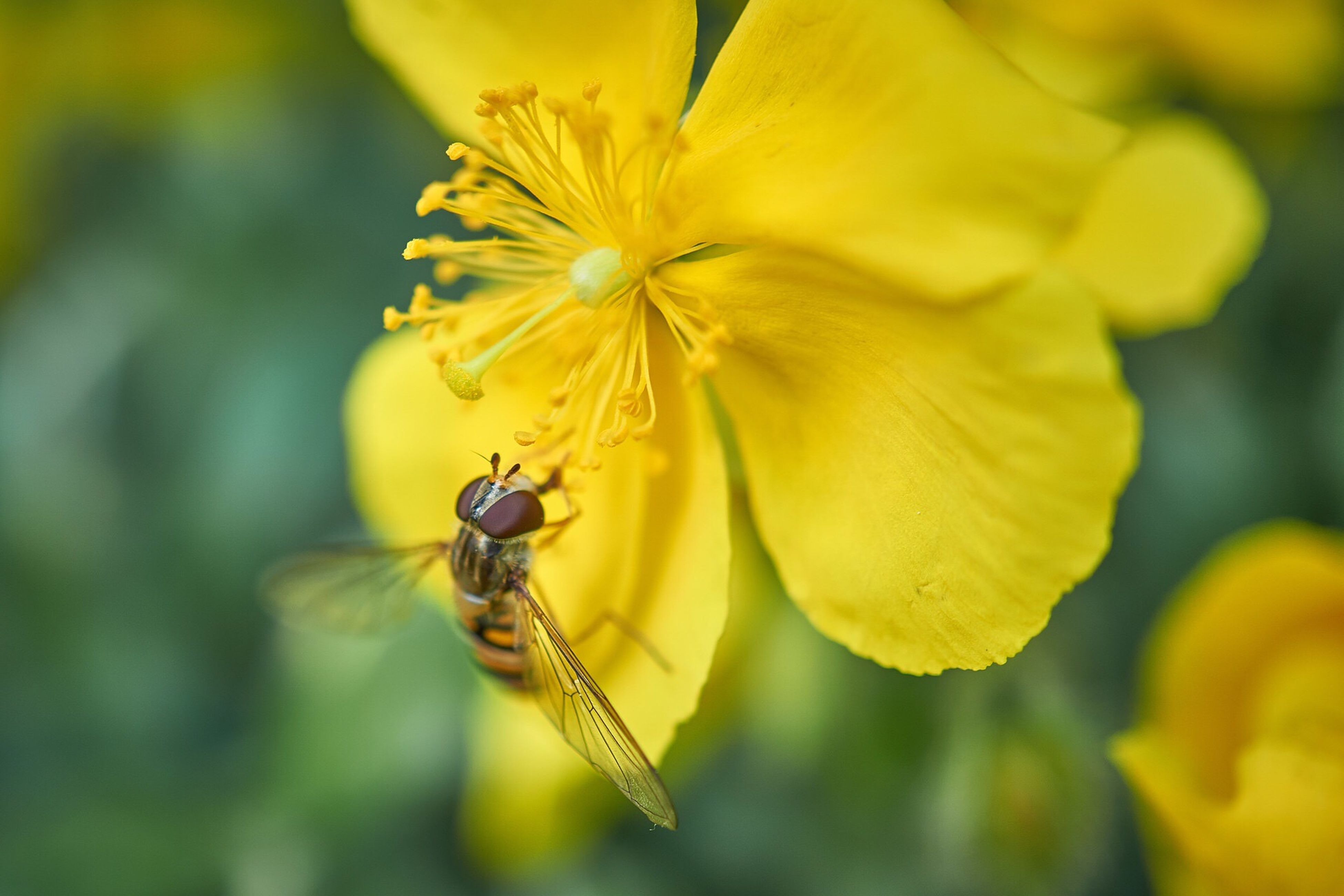 flower, insect, animal themes, one animal, petal, animals in the wild, yellow, wildlife, freshness, fragility, pollination, close-up, flower head, beauty in nature, focus on foreground, nature, bee, growth, symbiotic relationship, pollen