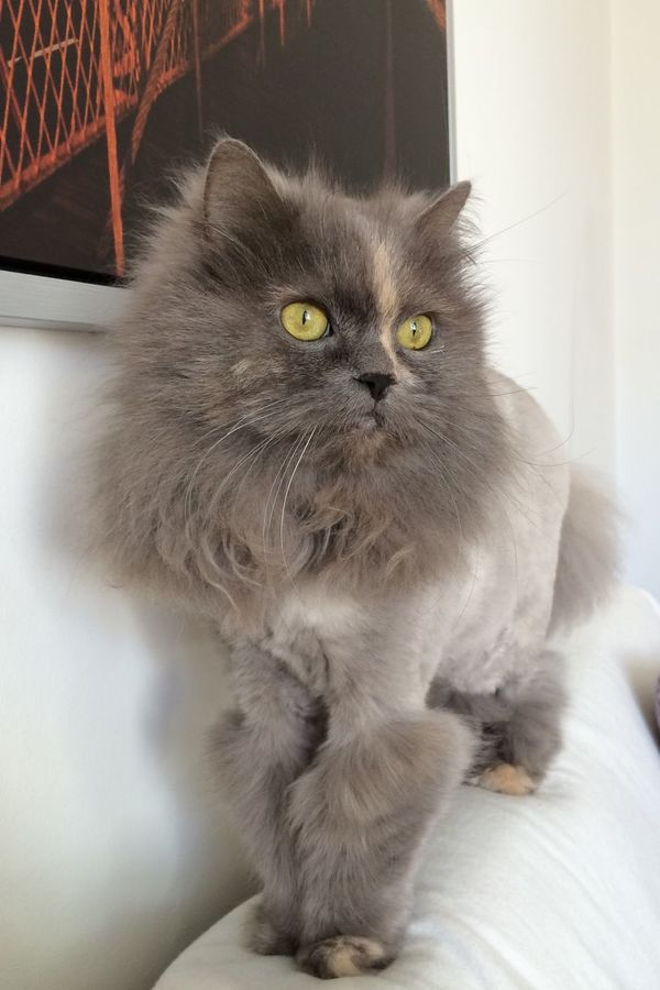 Domestic Animals Domestic Cat Close-up Feline Longhaired Cats Persian Mix So Sweet Soft Beauty Love Most Beautiful Cat In The World My Ofelia Copenhagen, Denmark Cat Pets Animal Themes Lion Cut So Beautiful  Pets We Love Cozy Cats Pet Photography  Yellow Eyes Softness EyeEm Best Shots