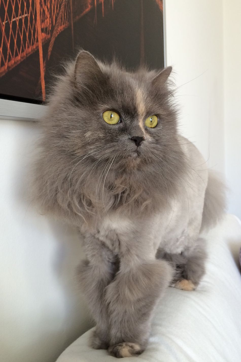 Domestic Animals Domestic Cat Close-up Feline Longhaired Cats Persian Mix So Sweet Soft Beauty Love Most Beautiful Cat In The World My Ofelia Copenhagen, Denmark Cat Pets Animal Themes Lion Cut So Beautiful  Pets We Love Cozy Cats