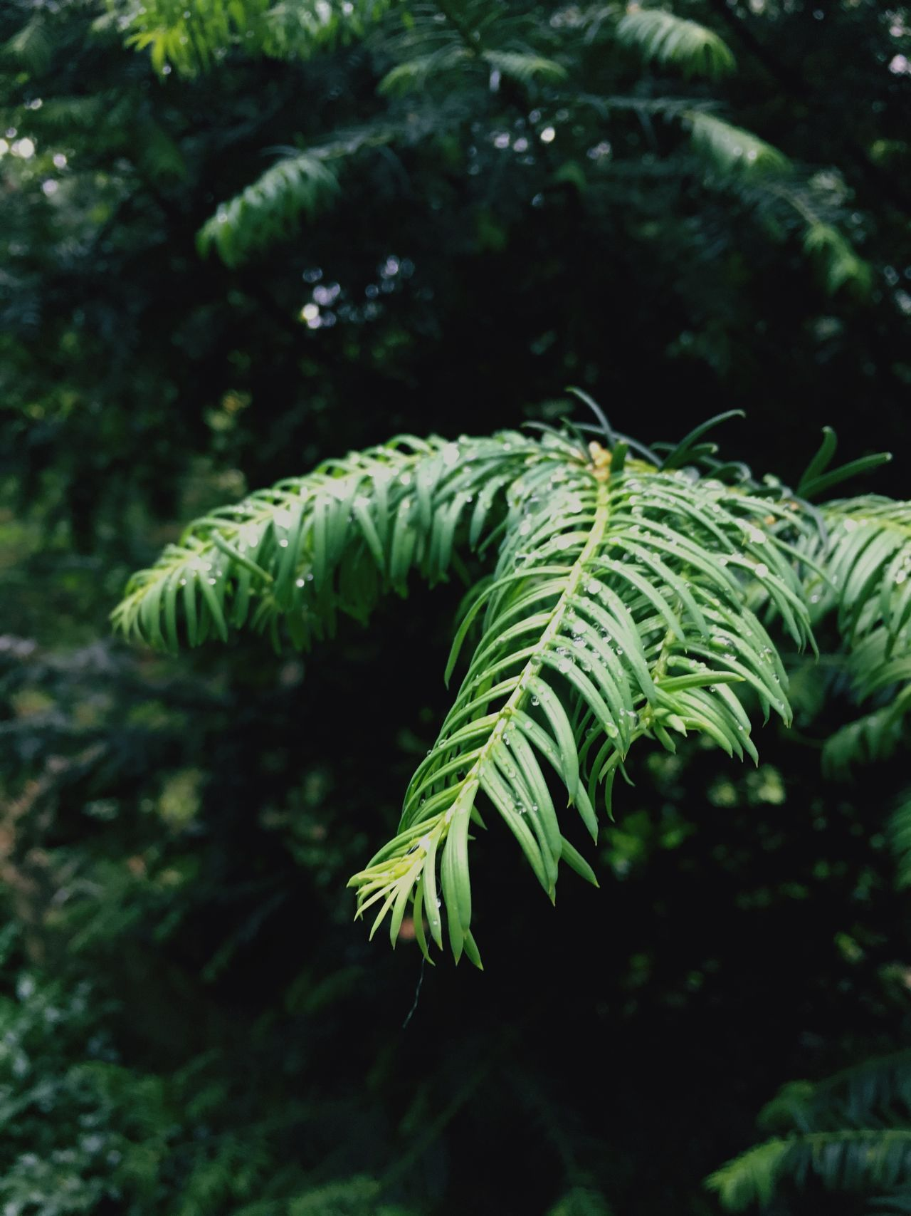 Rain Forrest // iPhone 6s // Green Color Nature Leaf Fern Growth No People Focus On Foreground Close-up Plant Tree Outdoors Beauty In Nature Fragility Freshness Summer This Week On Eyeem IPhoneography Iphone6s Rain Water Water Droplets ShotoniPhone6s The Great Outdoors - 2017 EyeEm Awards Fresh on Market 2017