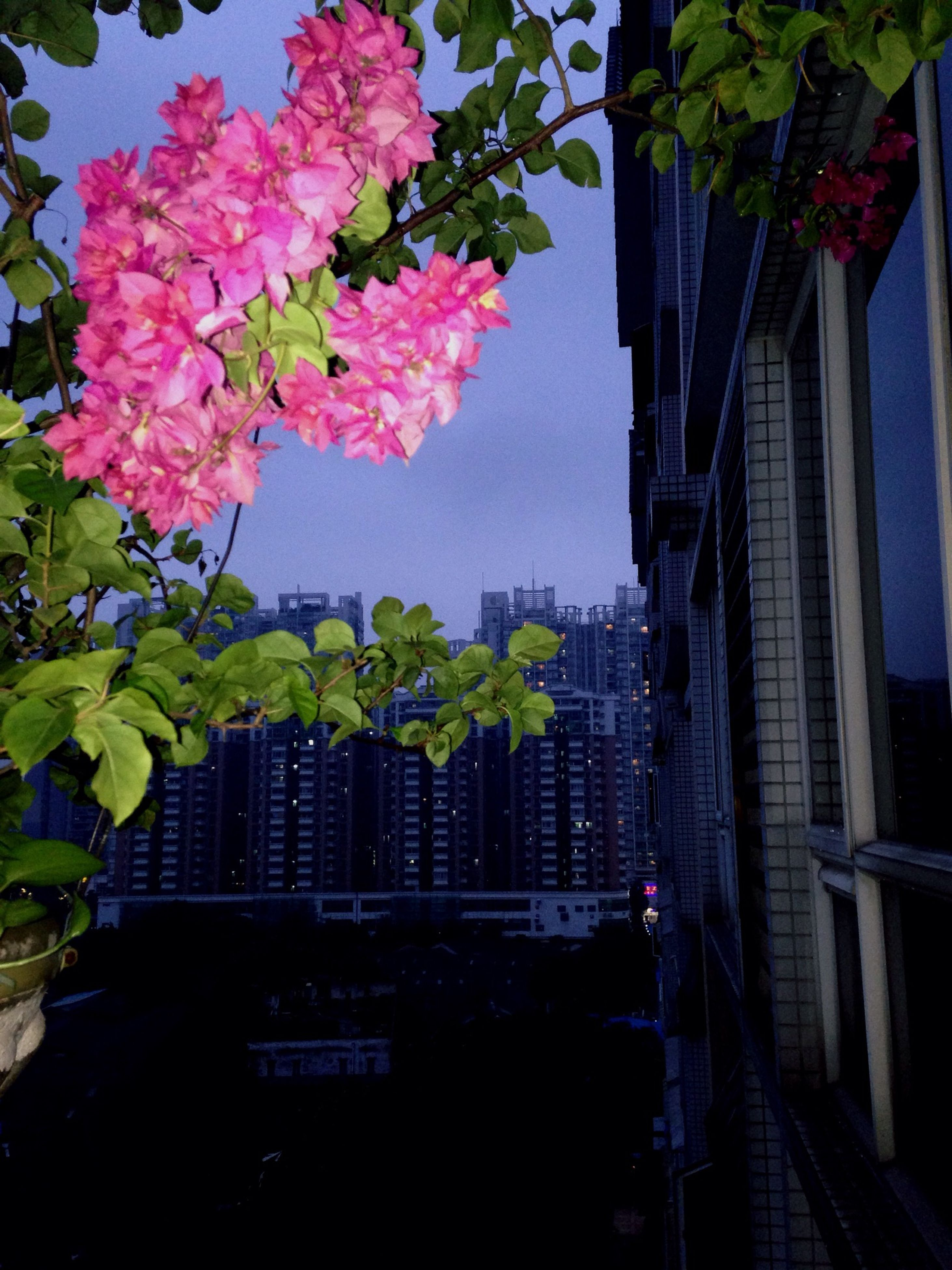 flower, building exterior, built structure, architecture, growth, tree, city, plant, potted plant, clear sky, railing, freshness, pink color, nature, outdoors, branch, day, sky, low angle view, building