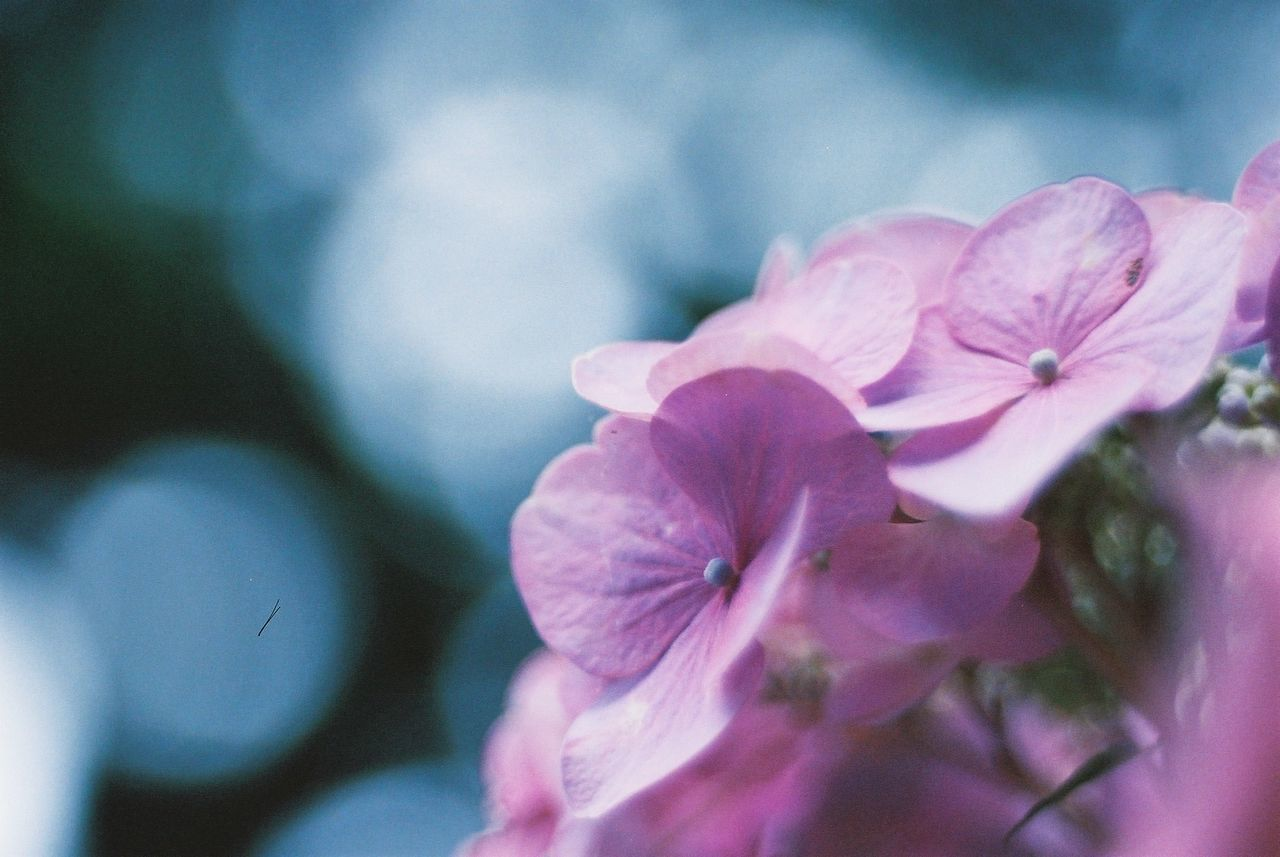 flower, petal, fragility, beauty in nature, nature, flower head, pink color, growth, close-up, freshness, no people, day, outdoors, plant, blooming