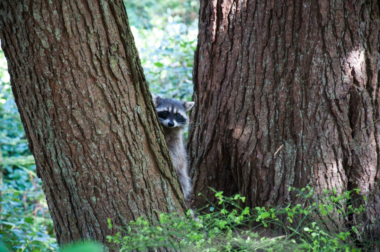 Beautiful stock photos of raccoon, Animal Themes, Animal Wildlife, Animals In The Wild, Day