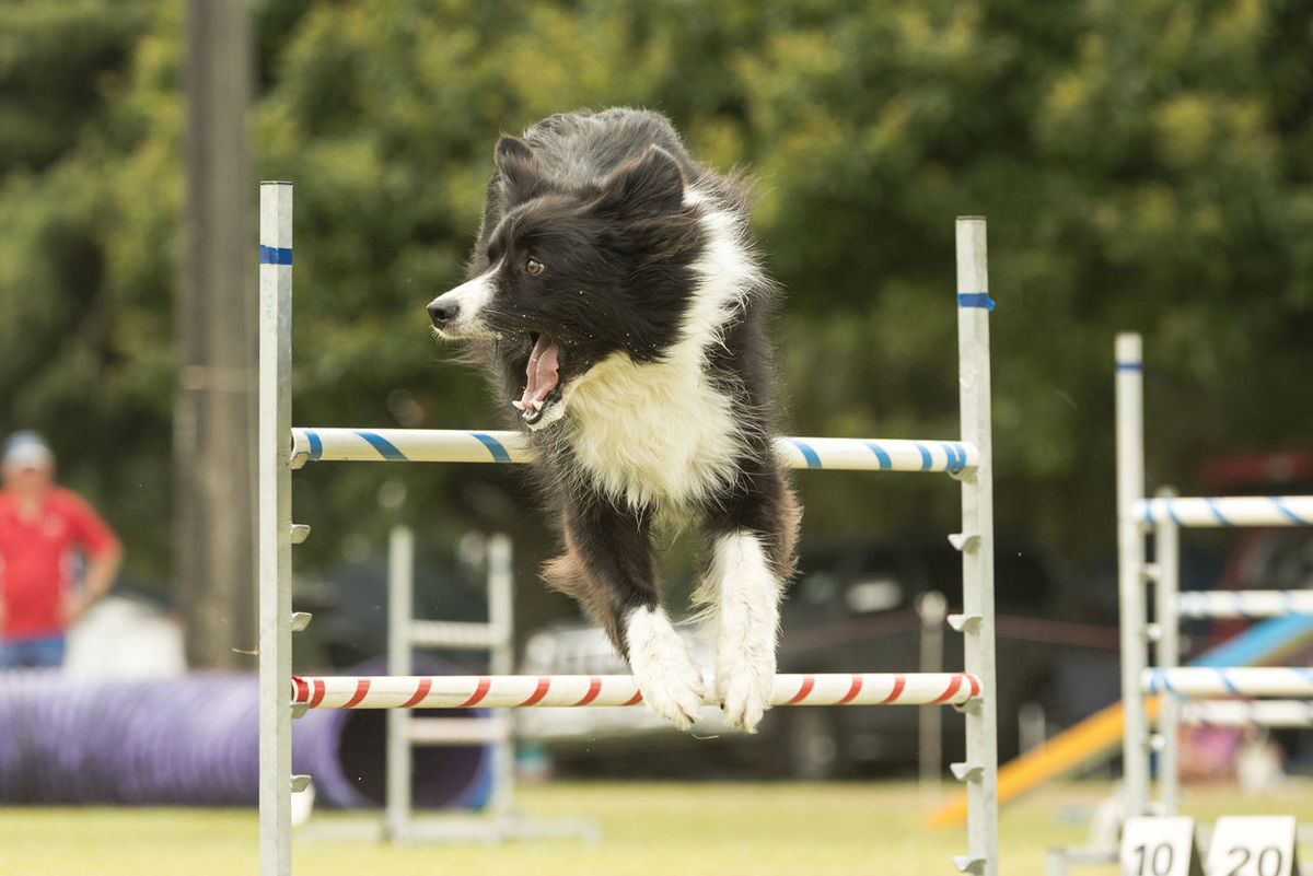 I love this shot. This dog looks like he's shouting something happy!!! Alertness Animal Animal Head  Animal Photography Animal Themes Black And White Dogs Black White Dogs Border Collie Close-up Depth Of Field Dog Dog Agility Dog Show Domestic Animals Fluffy Dogs Hoop Jumping One Animal Pets Portrait Selective Focus Sport