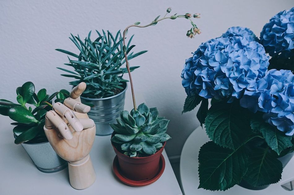 B·L·U·E//. Flower Blue Hydrangea Plant Spring Springtime Spring Flowers Leaf Leaves Growth Green Color Potted Plant Freshness Fresh Nature Home Style Life Lifestyles Indoors  Close-up Table Hand Minimalism Enjoying Life EyeEm Diversity Art Is Everywhere