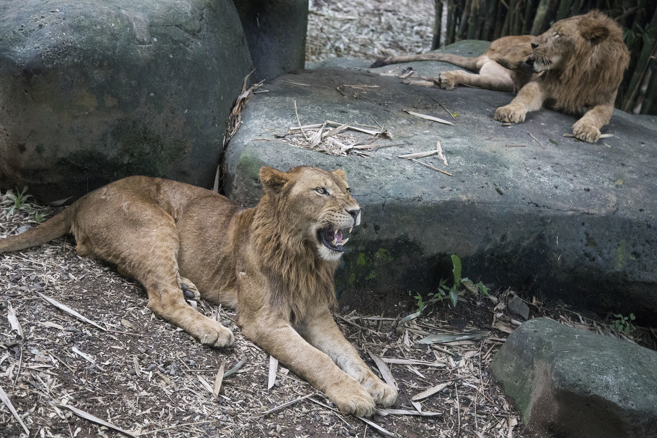 Animal Animal Themes Animals In The Wild Day Lion - Feline Lioness Mammal Mouth Open No People Outdoors Snarling