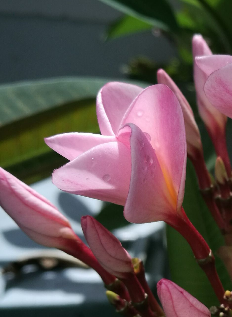 petal, flower, growth, flower head, fragility, beauty in nature, pink color, nature, freshness, blooming, plant, day, close-up, outdoors, no people, leaf, lotus water lily, day lily, frangipani