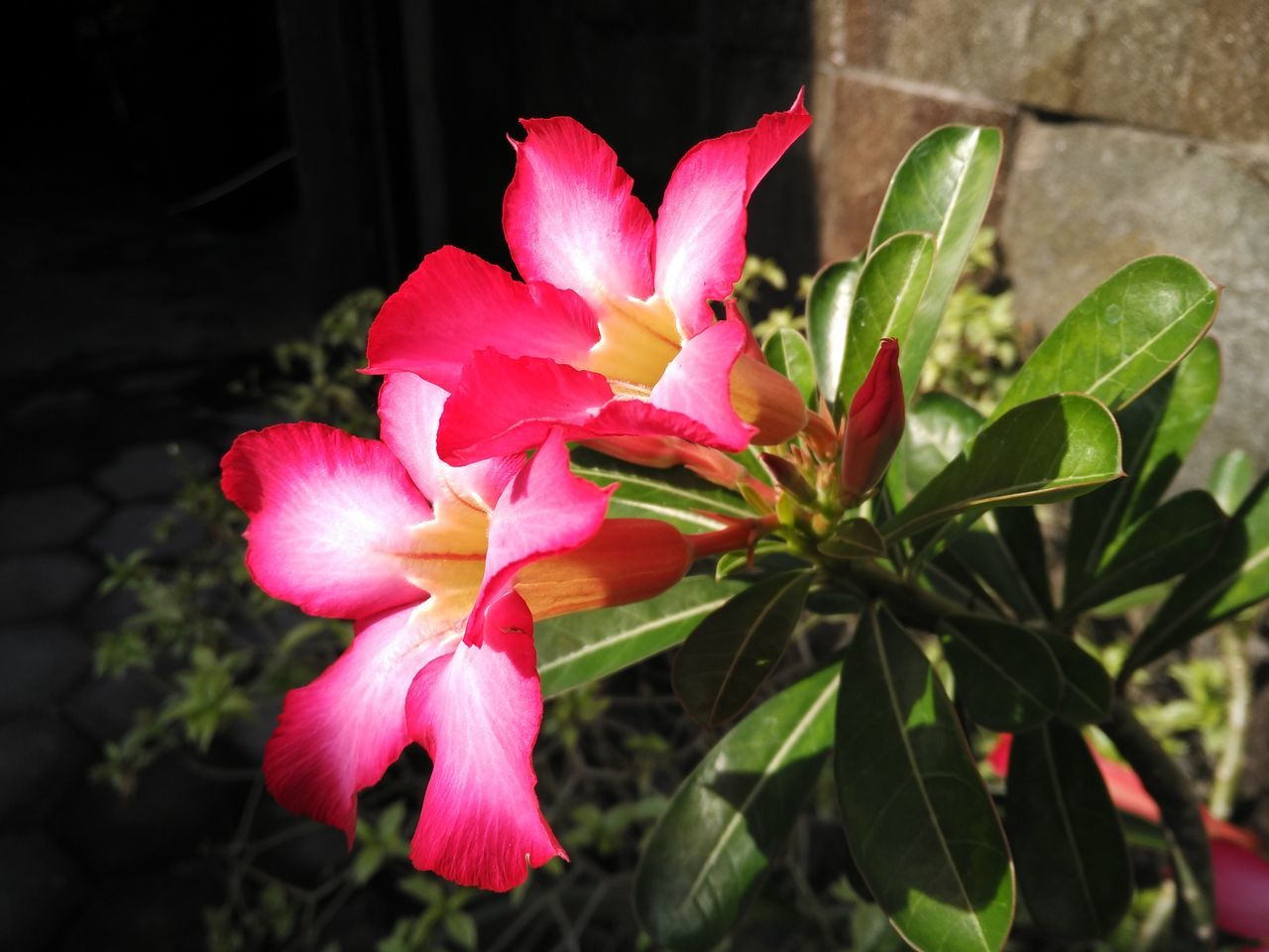 flower, petal, pink color, flower head, growth, beauty in nature, fragility, nature, plant, blooming, no people, freshness, day, close-up, outdoors, periwinkle, hibiscus