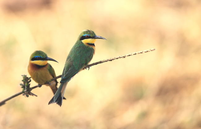 Lake Manyara, Tanzania Africa Animal Animal Themes Beauty In Nature Bee Eater Bird Birds In The Wild Brid Watching Chilling Out Close-up Focus On Foreground Interested In What Happened Looking Up Perching Selective Focus Twig Waiting Wilderness Wildlife