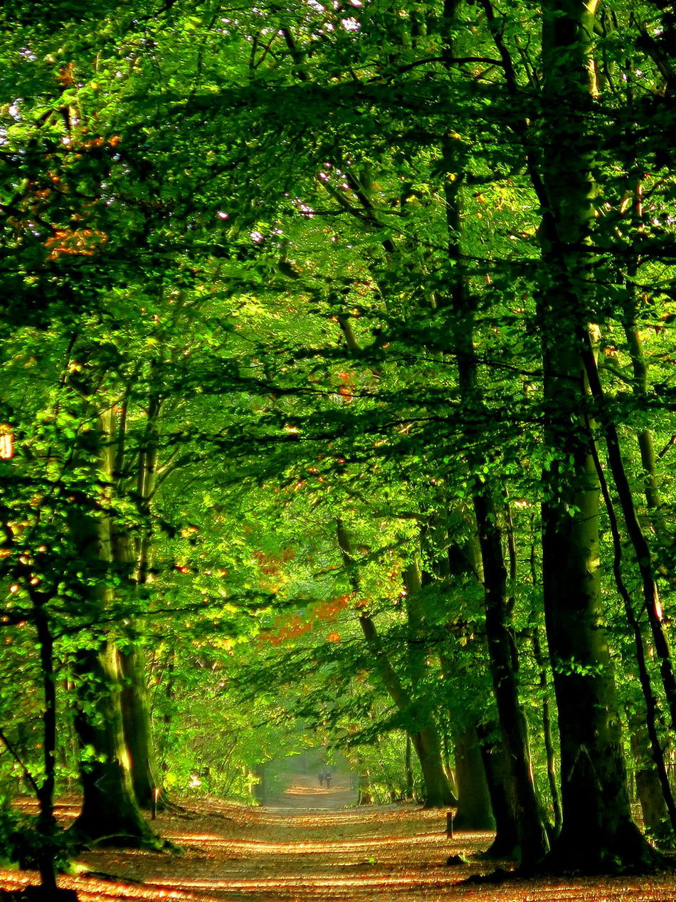 Vanishing into the deep of the woods Autumn Autumn Collection Autumn Colors Autumn Light Beauty In Nature Beech Forest Day Diffused Light Green Color Groove Growth Nature No People Outdoors Scenics Tranquil Scene Tranquility Tree Vanishing Point Vanishing Points Walk In The Woods