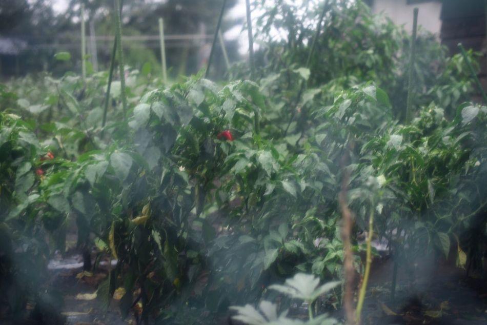 """""""前触れ"""" """"harbinger"""" Harbinger Change Green Color Nature Beauty In Nature Rainy Days"""