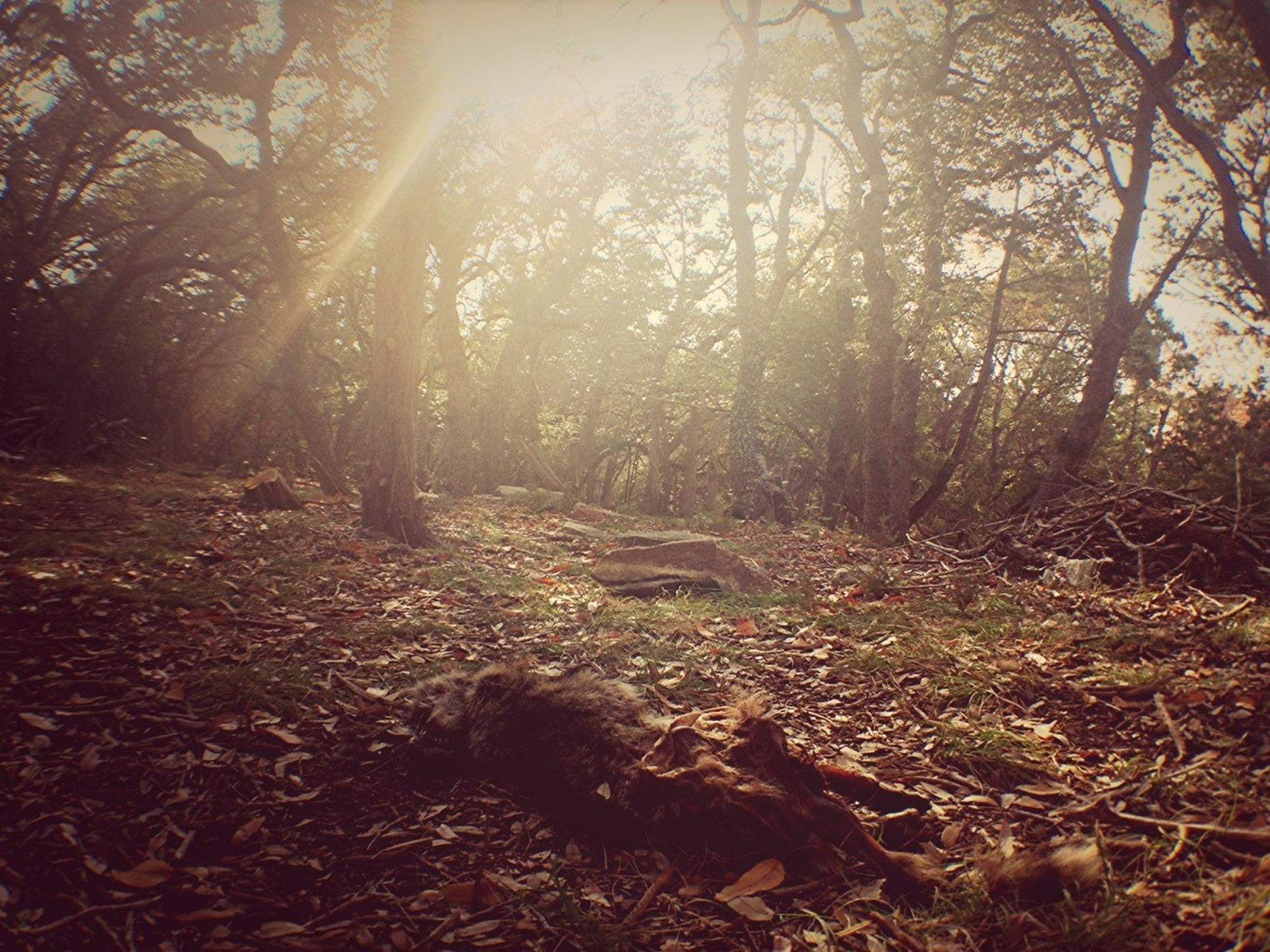 tree, forest, tranquility, tranquil scene, nature, tree trunk, sunlight, growth, woodland, beauty in nature, scenics, sunbeam, landscape, non-urban scene, branch, day, outdoors, the way forward, no people, dirt road