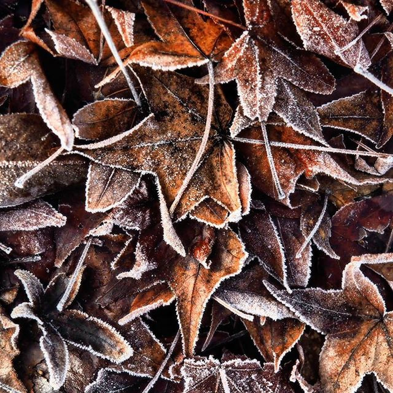 On the first day of the year, Frost on the fallen Leaves in Roseburg. Latergram Getolympus Olympusomdem1 Omdem1 Zuikodigital Pacificnorthwest Pacificnw PNW PNWonderland Pnwlife Iloveoregon TravelOregon Upperleftusa Nature Colorsofthenorthwest Frozen Optoutside