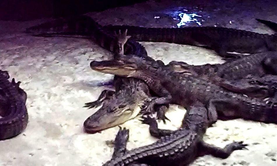 Louisiana gators! Louisiana Louisianaphotography Gators Louisiana Living Louisiana Swamp