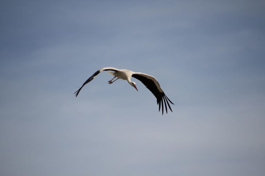 White stork in flight Animal Themes Animal Wildlife Animals In The Wild Bird Bird Photography Birds Of EyeEm  Birds_collection Ciconia Ciconia Ciconiidae Clear Sky Day EyeEm Birds Flying Full Length Low Angle View Mid-air Nature No People One Animal Outdoors Sky Spread Wings Storch Stork White Stork
