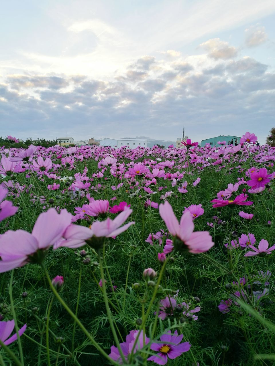 flower, beauty in nature, nature, fragility, growth, pink color, sky, cloud - sky, freshness, petal, plant, field, outdoors, purple, tranquility, no people, flower head, day, blooming, tranquil scene, scenics, cosmos flower, landscape, close-up, crocus