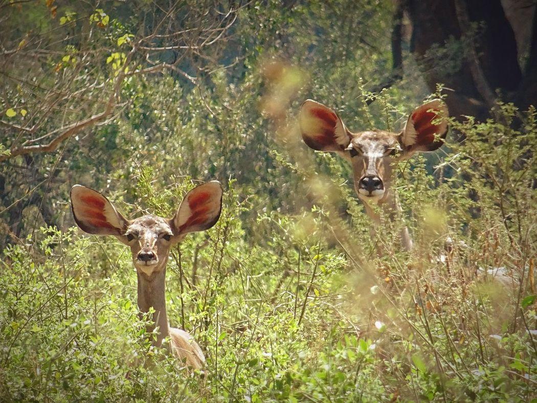 Shy of Two Kudu in the Kruger Kruger Park Kudu Wildlife & Nature Wide Eyed Safari Safari Animals Africa First Eyeem Photo in Hazyveiw South Africa