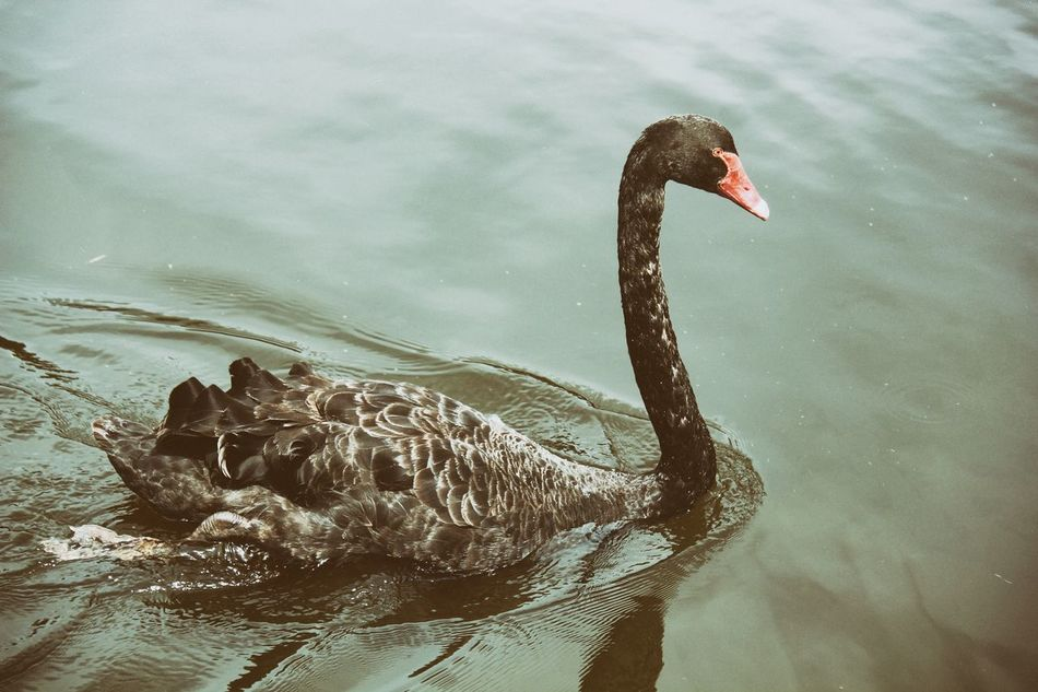 Beautiful stock photos of lake, Animal Neck, Animal Themes, Animals In The Wild, Beauty In Nature