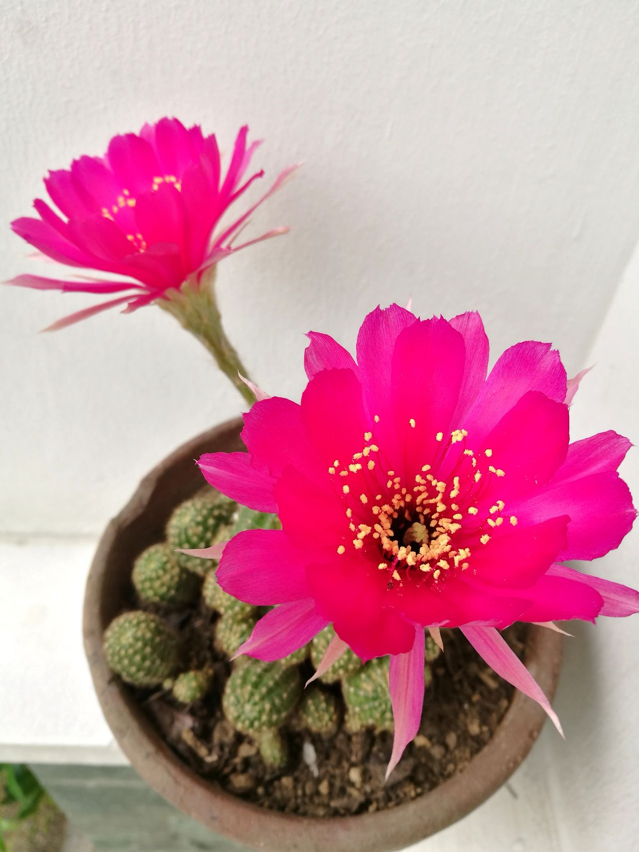 Flower Nature Plant Blossom Beauty In Nature Cactus Cactus Flower Cactusflower Flower Head Petal Fragility Red Close-up No People Day Freshness