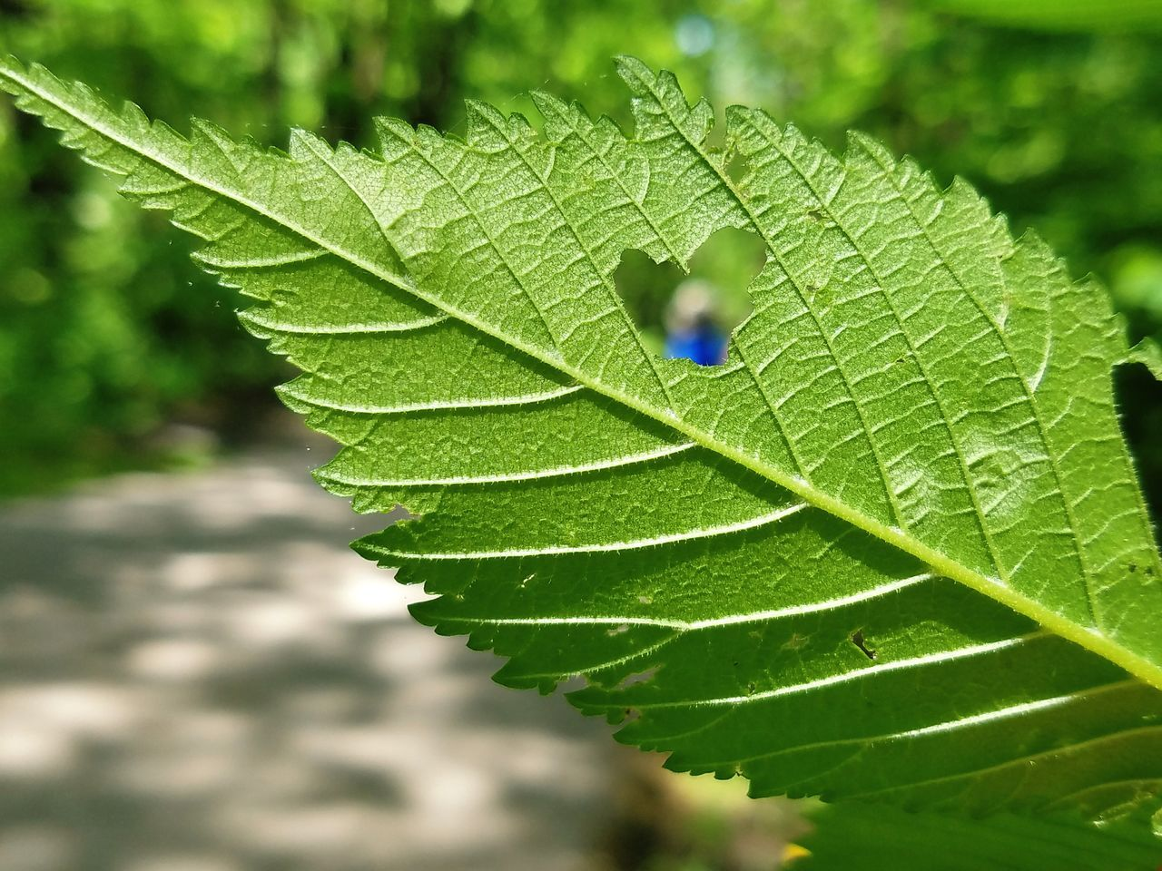 Heart Leaf Nature Green Color Close-up Outdoors Day Plant EyeEm Samsung Galaxy S7 Edge EyeEm Best Shots Android Photography Bokeh