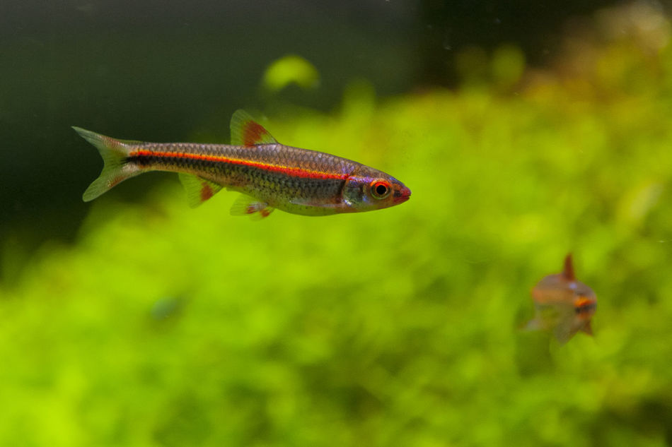 Rainbow shiners (Notropis chromosus) in a planted tank. Animal Themes Aquascaping Aquatic Life Fish Fish Tank Minnows Notropis Pet Pet Fish Planted Tank