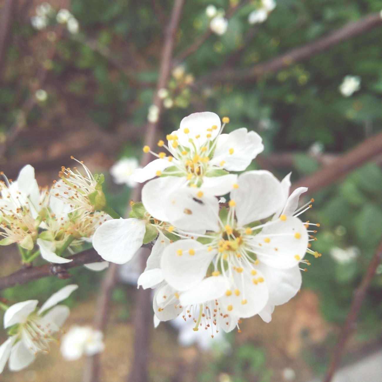 Nature Growth Flower Beauty In Nature Flower Head Plant Blossom Close-up Freshness Pear White Color Freshness Beauty In Nature Beautiful Day - Zhuhai China