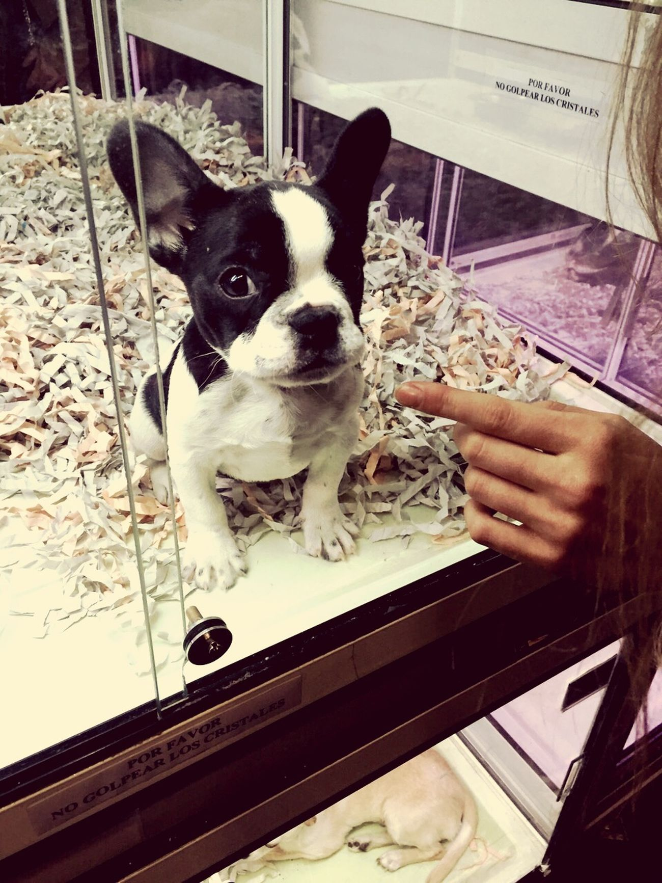 cutiepie Cutestthingever BabyPet Bulldog Love♡