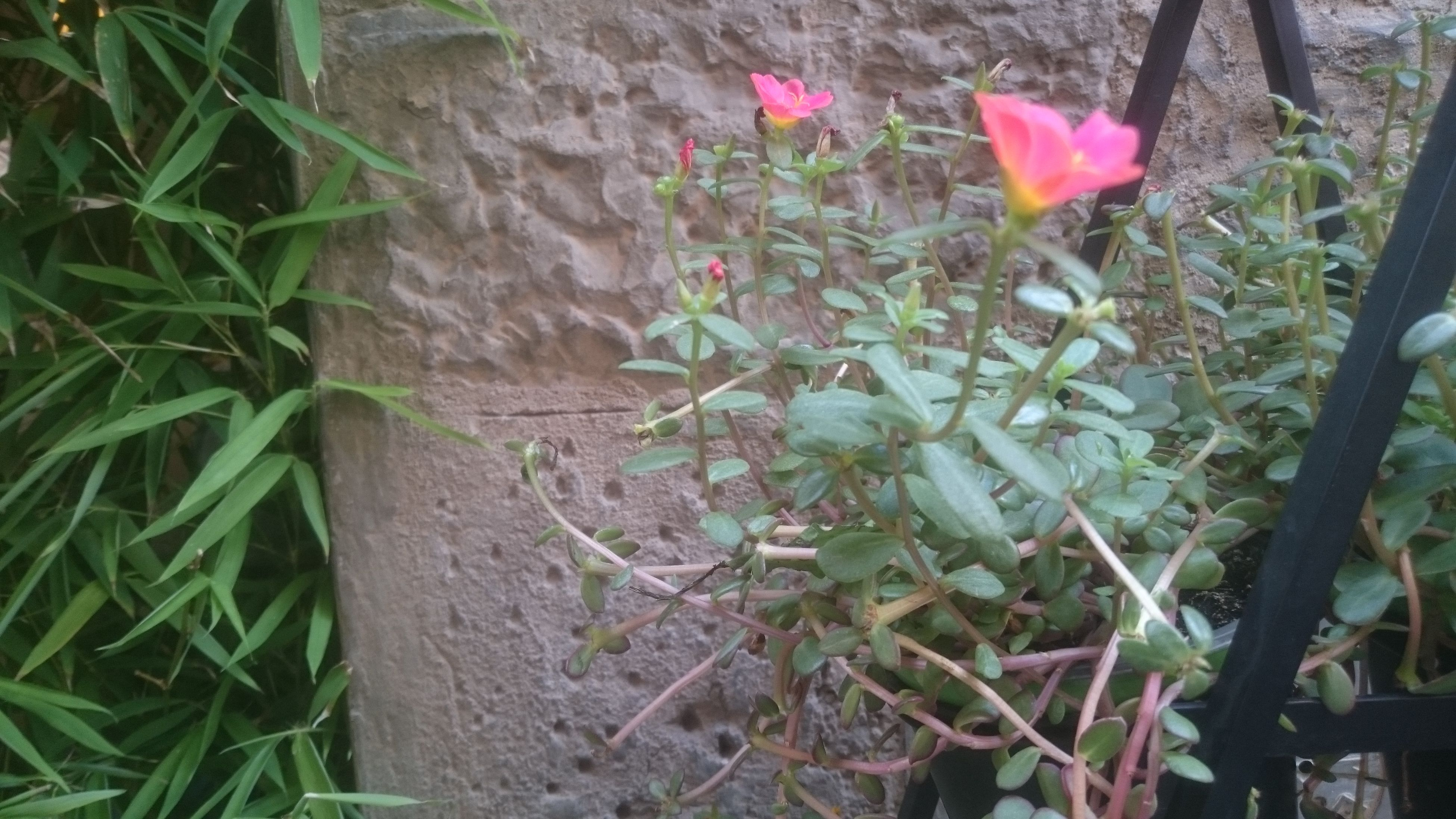 flower, growth, fragility, freshness, plant, leaf, petal, in bloom, flower head, beauty in nature, growing, springtime, nature, wall - building feature, close-up, stem, single flower, green color, botany, blossom, pink color, green, day, outdoors, blooming, plant life, vibrant color, softness