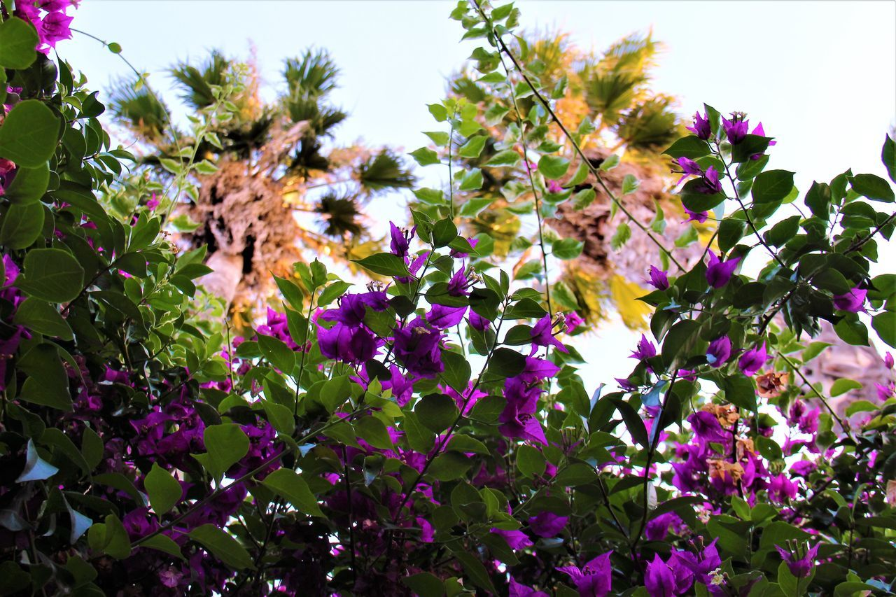Low Angle View Of Purple Flowers On Branch